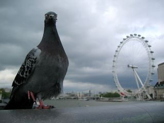 London_eye_pigeon